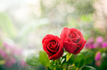 roses of romance