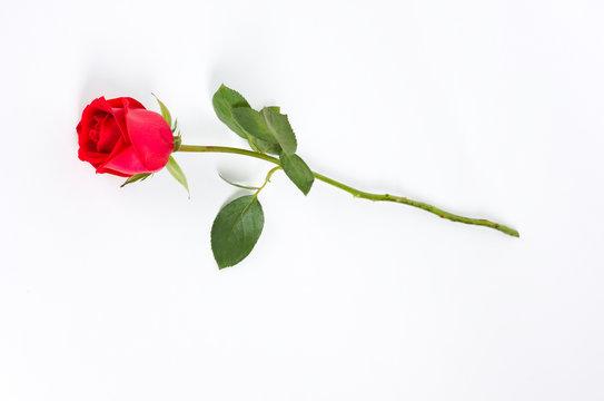 long stem rose on white