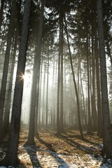 Keuken foto achterwand Bos in mist Coniferous forest lit by the morning sun on early spring day