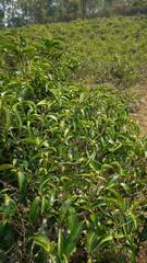 Tea bush in Thailand
