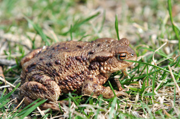 Brown frog in the grass - side view