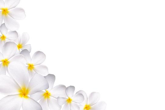 White plumeria
