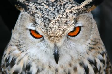 bird owl closeup