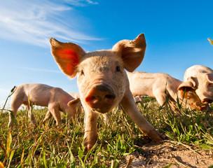 A pig in Dalarna, Sweden
