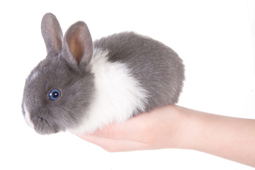 little blue eyed rabbit in the hands, isolated