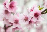 Hanakotoba a Japanese Secret Language Using Flowers