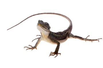 lizard Chinese tree dragon