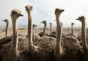 Foto op Aluminium Struisvogel ostrich heads