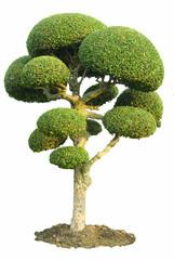 Printed kitchen splashbacks Bonsai Isolated Fig Tree Ornamental garden