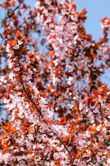 Wall Mural - Kirschblüte