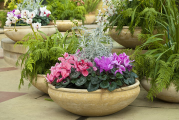 Cyclamen pot and ferns in garden room