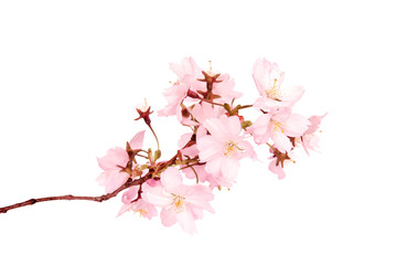 Spring blossoms isolated on white background