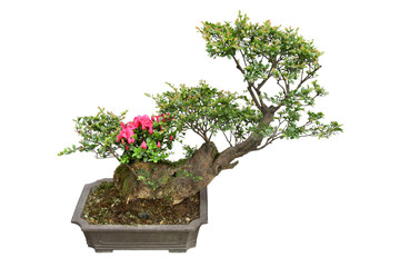 bonsai tree and rhododendron
