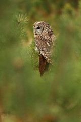 Tawny Owl in the pine forest