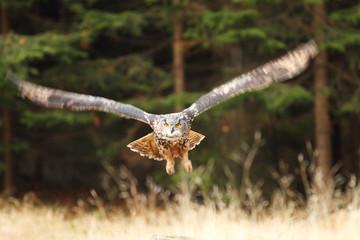 Eagle Owl flying