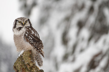 Northern Hawk Owl sitting in the forest
