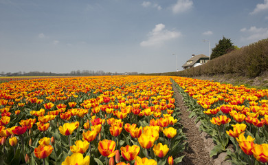 yellow tulip fields in Holland