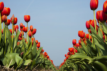red tulip fields in Holland