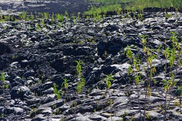 colonisation végétale coulées, Piton de la Fournaise, Réunion