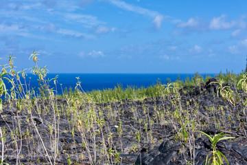 végétaux sur ancienne coulée de laves, île de la Réunion