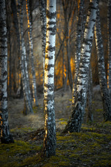 Garden Poster Birch Grove Birch trees at sunset