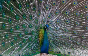 beautiful peacock .
