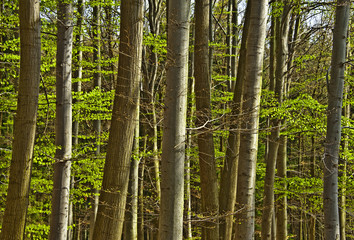 spring wood with beech trees in detail