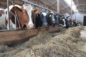 Kühe bekommen Heu als Futter im Stall