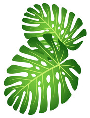 Leaves of tropical plant - Monstera.