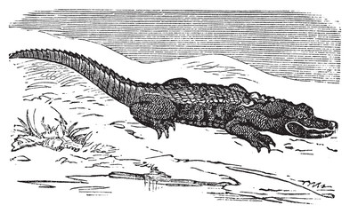 American Alligator engraving, or Alligator Mississippiensis.