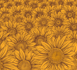 Yellow Field. Sunflower
