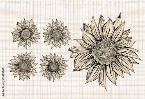 """Sunflower.Drawing.Isolated objects"" Stock image and ..."