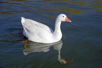 Snow goose swimming