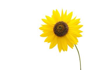 Beautiful beach sunflowers isolated on white
