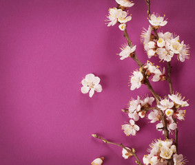 Wall Mural - Spring Blossom over pink background