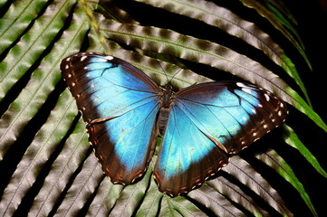 Common Blue Morpho Butterfly