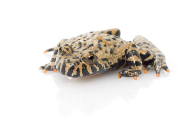 Belly Fire Toad against white background.