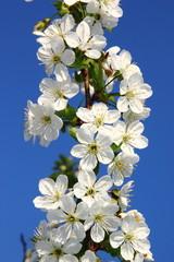 Fototapete - Apfelbaum Blüte