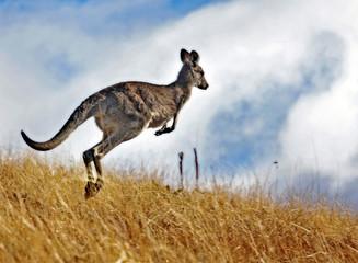 Photo sur Toile Kangaroo Kangaroo