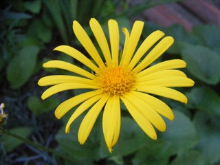 yellow spark flower