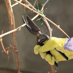 Grape cutting - pruning, close up of hand with shears