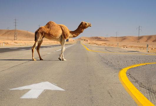 Camel crossing highway in Negev desert. Israel.