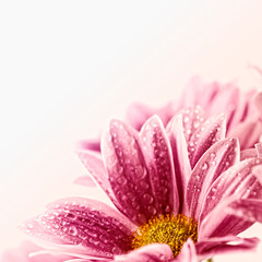 Wall Mural - Daisies against white background