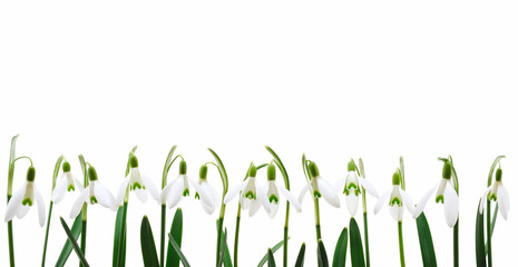 Group of snowdrop flowers  growing in row,  isolated on white