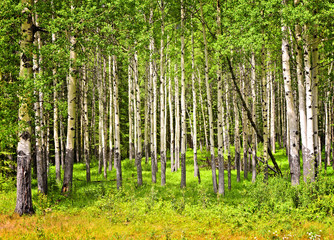 Spoed Fotobehang Berkbosje Aspen trees in Banff National park