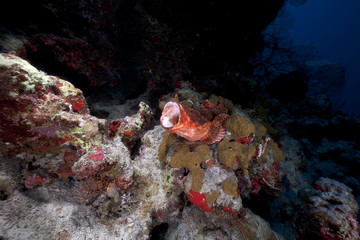 Scorpionfish and coral reef in the Red Sea.