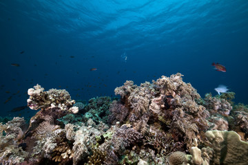 coral reef and fish in the Red Sea.