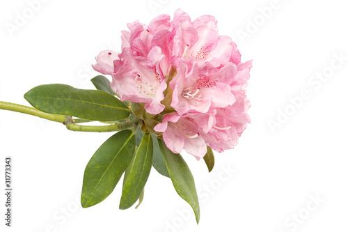 Rododendro immagini e fotografie royalty free su fotolia - Rododendro prezzo ...