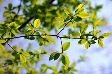 foglie 1637