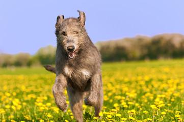 Springender Wolfshund